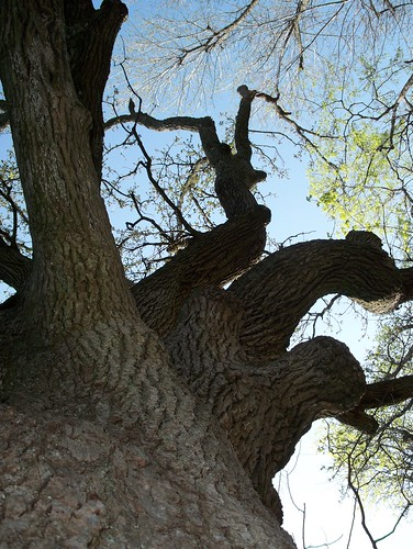 burr oak online dating Product features you are purchasing one bur oak tree in a one gallon trade pot 3 - 4.