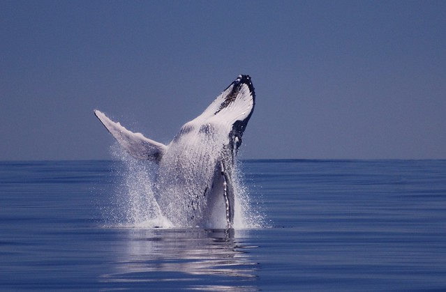 What Is Credit >> Humpback whale breaching | Photo credit: Glen Edney www ...