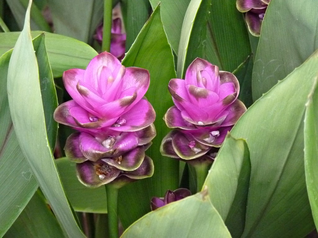 xxn x tulip thai