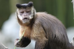 Capuchin Monkey | by Michael Ransburg