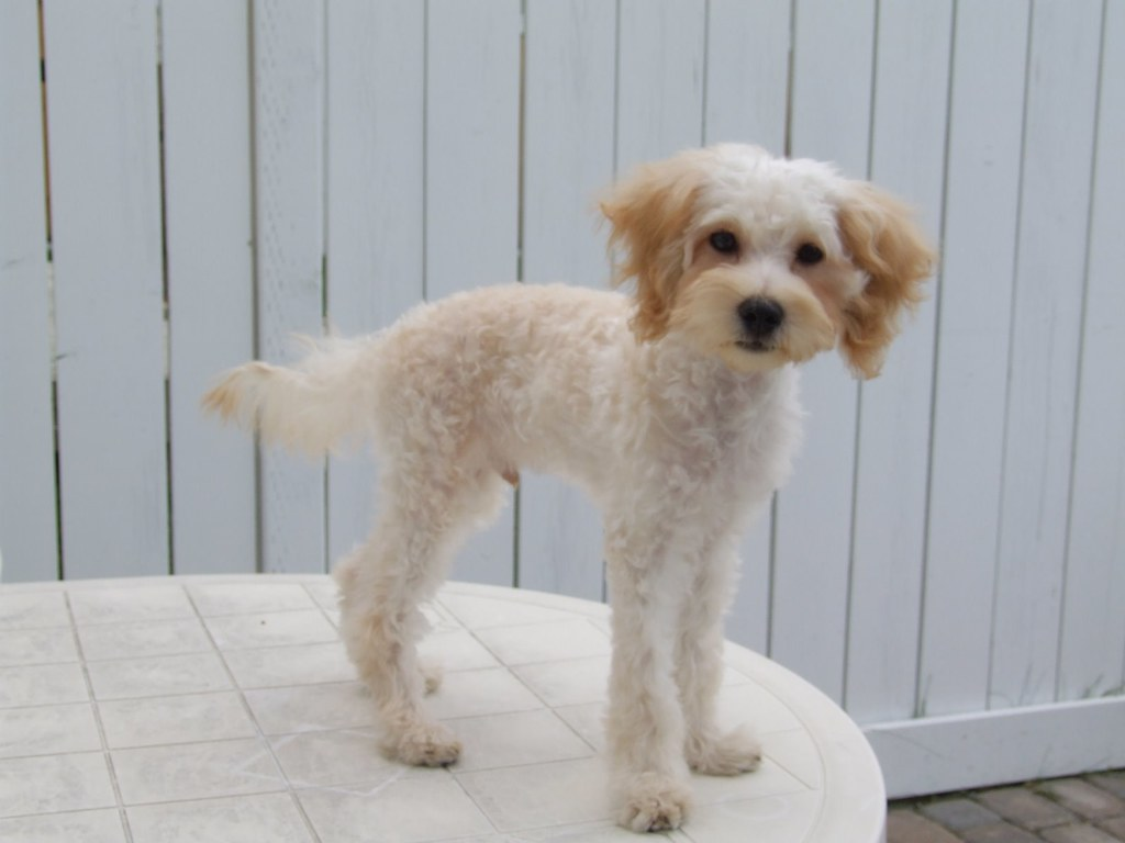 Maltipoo Dog Puppy