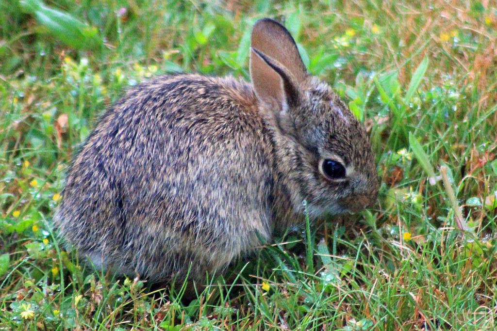 Baby rabbit 2 | A tiny baby bunny in my yard. 100_0977adj ...