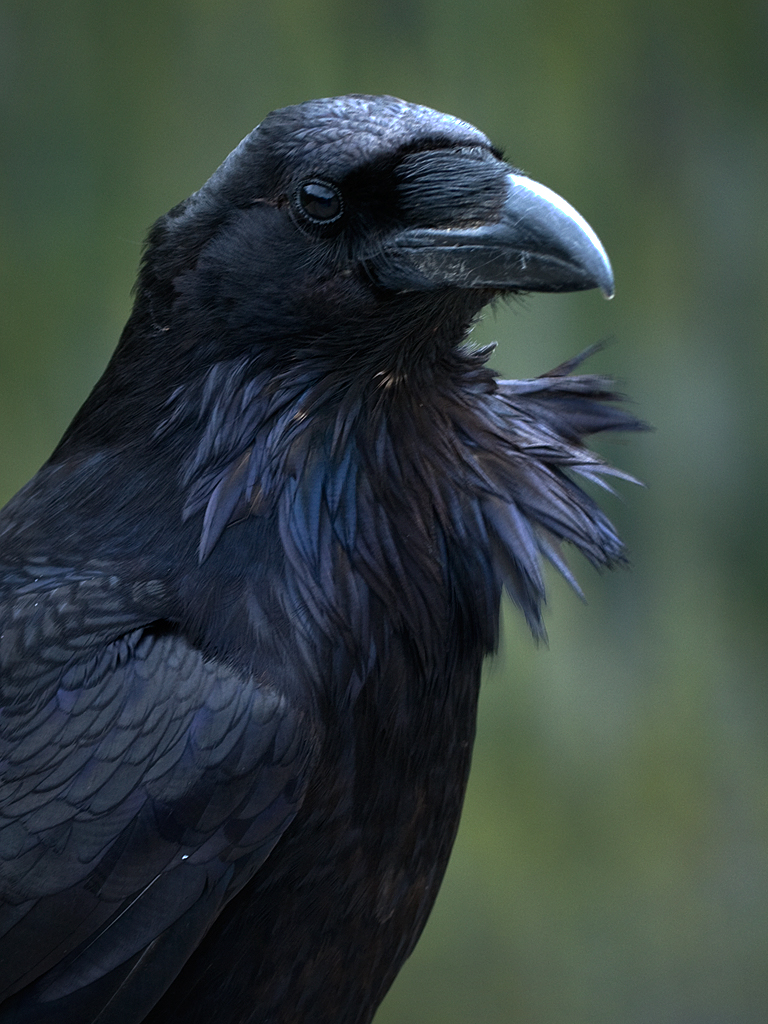 Movement coordination and signalling in ravens (Corvus ...