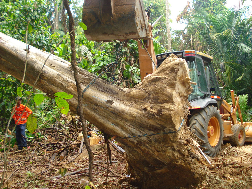 Pokok Gaharu Mencabut Pokok Gaharu | by