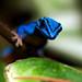 William's Dwarf Gecko