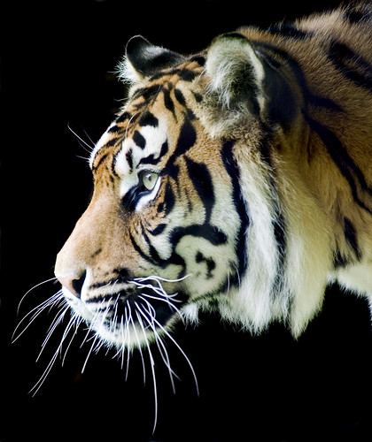 sumatran tiger map with 4220407336 on 9148465357 likewise 5936486606 as well Diffusione E Habitat additionally 4220407336 together with 11.