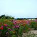 Wildflowers on Lambert's Cove