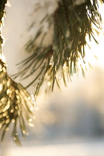 Golden pine | by Rikke Lind