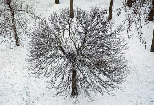 Noisy le grand arbre boule de neige flickr - Arbre boule de neige ...