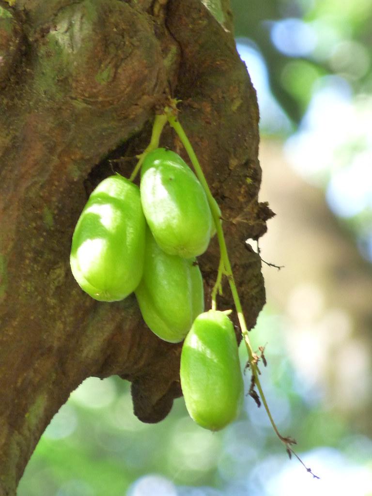 Kaling Cucumber Tree   ...