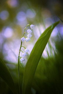 evening lily of the valley macro bokeh flowers | by czdistagon.com