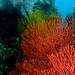 Colourful Corals at Maripipi