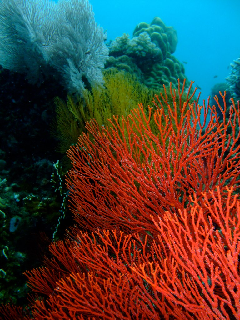 Colourful Corals at Maripipi