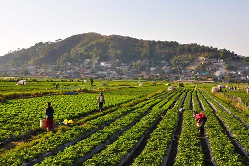 strawberry farming in kenya pdf
