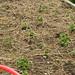 Humble Garden: bush peas