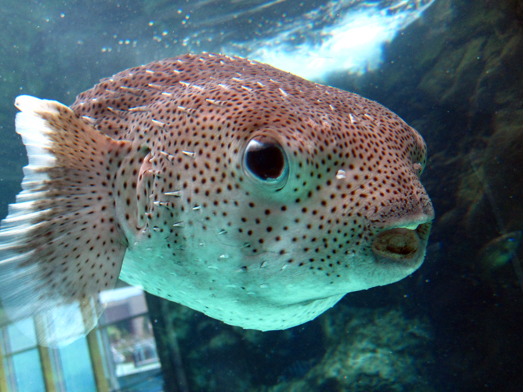 Img 0575 1 close up of a puffer fish from the florida for Puffer fish florida