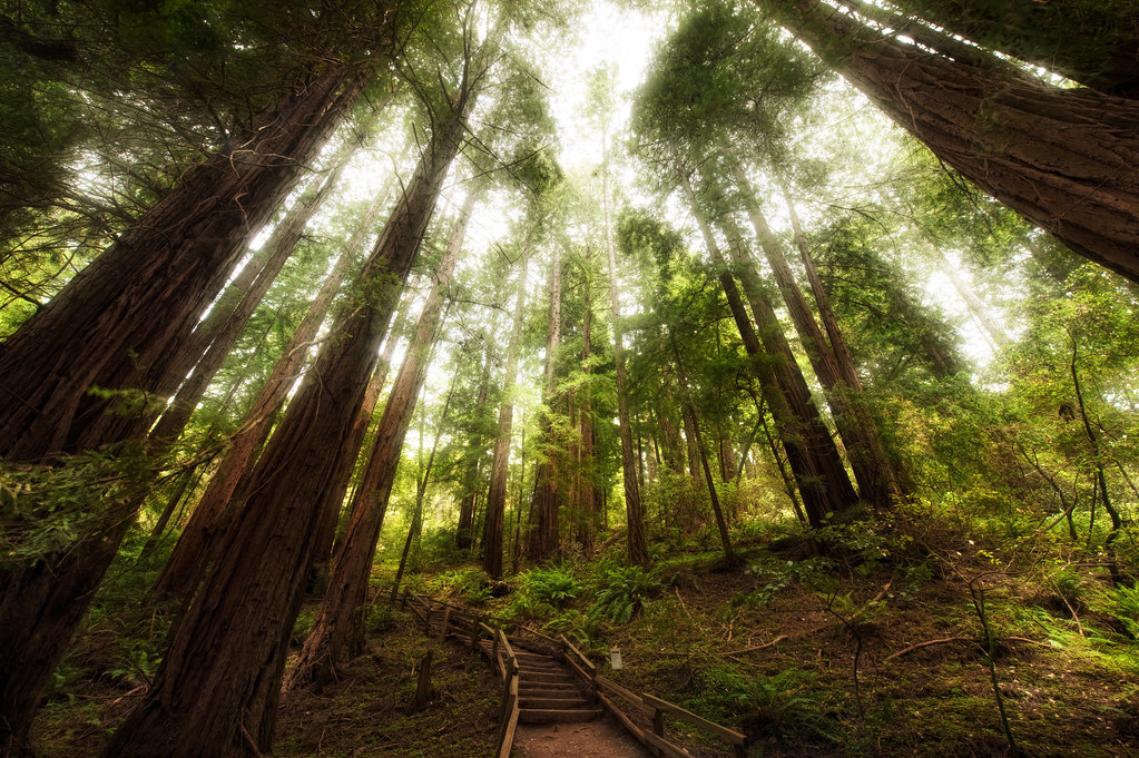 ... The incredible canopy of the Muir Woods | by kern.justin & The incredible canopy of the Muir Woods | View Large on Blacu2026 | Flickr