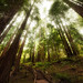 The incredible canopy of the Muir Woods