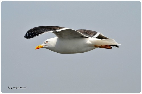 © • Lesser Black-backed Gull • | by M.A.K.photo