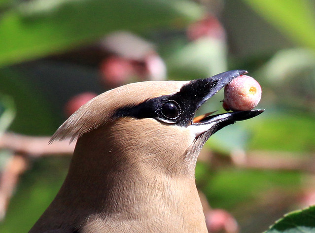 Cedar Waxwing feeding on Juneberry