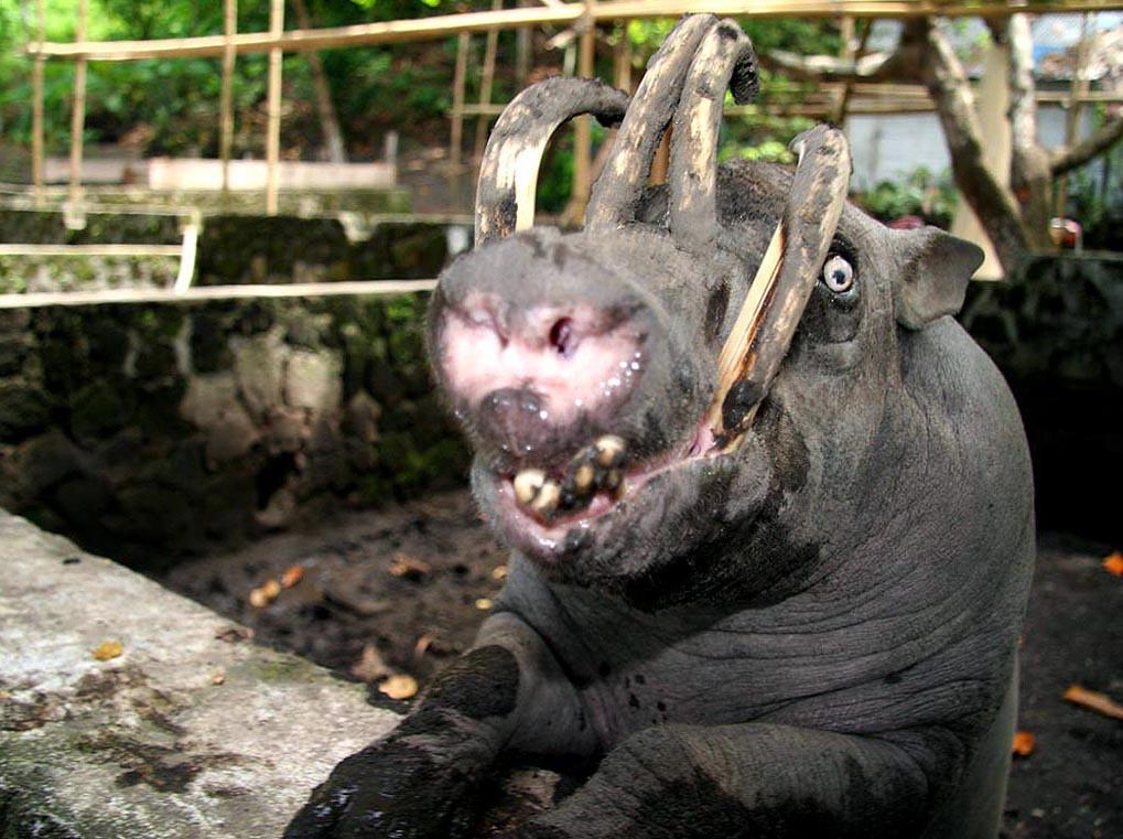 Babirusa Babirusa In Captivity At The Naemundung Animal