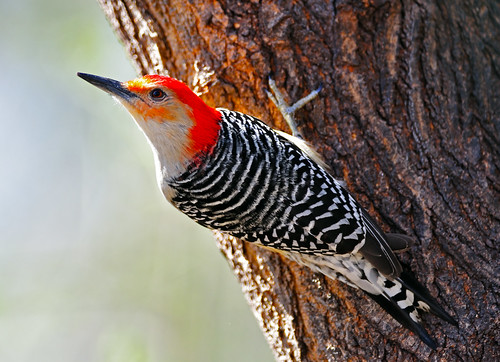 Red-Bellied Woodpecker | by Brian E Kushner