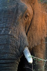 Wildlife, Elephant - Swaziland | by whl.travel