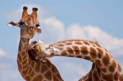 IMG_3121 Necking Giraffes | by smallmozz