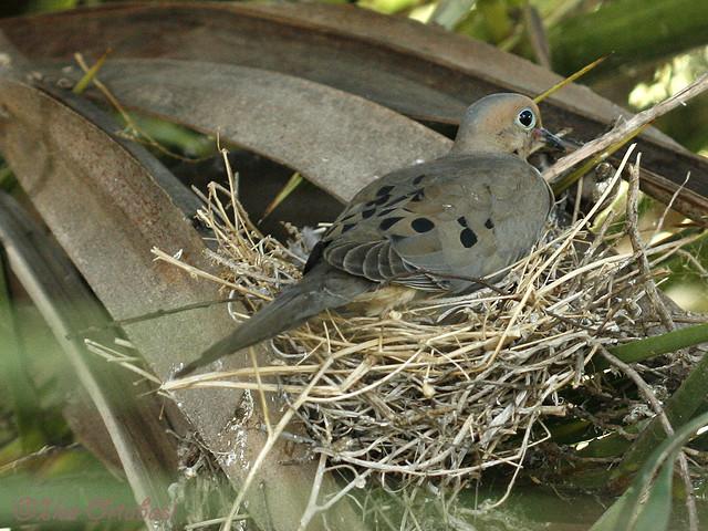 Mourning Dove Nest Mourning dove on nest ...