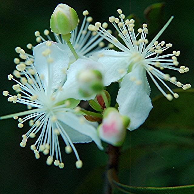 Surinam Cherry Stamens Spring From Their Buds Explore