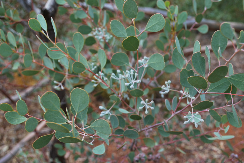 eucalyptus crucis  leaves  u0026 flower buds