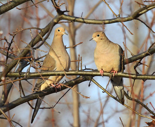 Mourning Doves | by Laura Erickson
