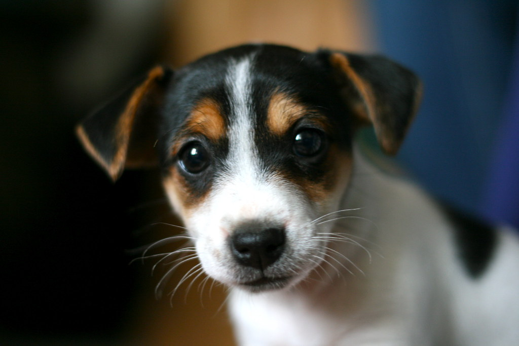 Misty - adorable Jack Russell puppy ;) | A friend's 6-Week o ...