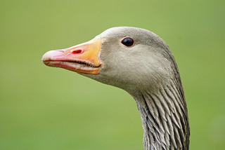 Greylag Goose | by Nick Slack (NJS photography)