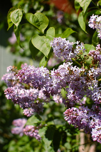 the lilac tree is in full bloom | by shauna | glutenfreegirl