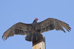 _MG_5496 Sunning Turkey Vulture | by Ned Harris