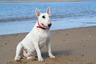 Nelson, our first bullterrier | by carbully2010