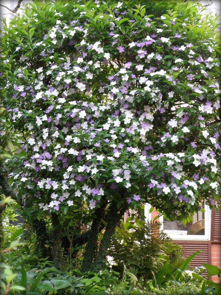 White and purple flowering tree brunfelsia the photos w flickr white and purple flowering tree brunfelsia by lika2009 in the usa mightylinksfo