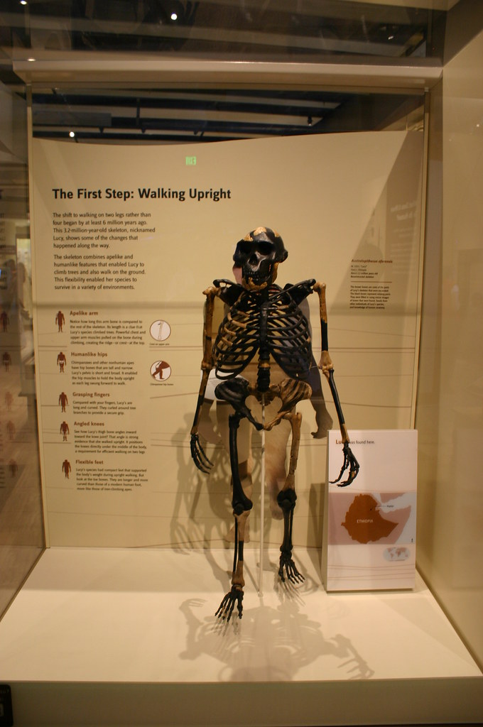Australopithecus Afarensis Lucy Taken At The David H