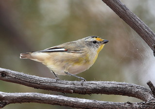 Striated Pardalote | by Peter Jacobs Photos