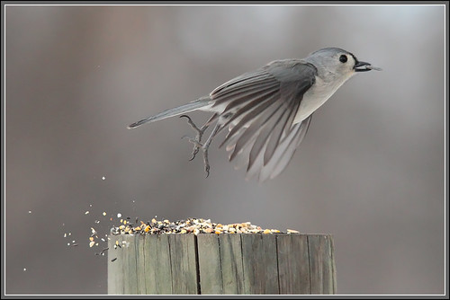Titmouse leaving | by gabebalazs