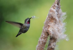 Anna's hummingbird picking cattail tufts for the nest | by Iryna (SF Bay)