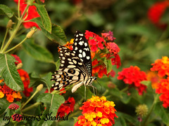 Butterfly by PrincesS_Shahad