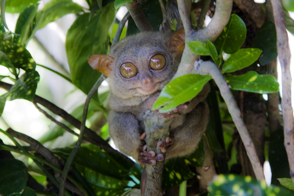 The Tarsier | by JT's Hazy Reality