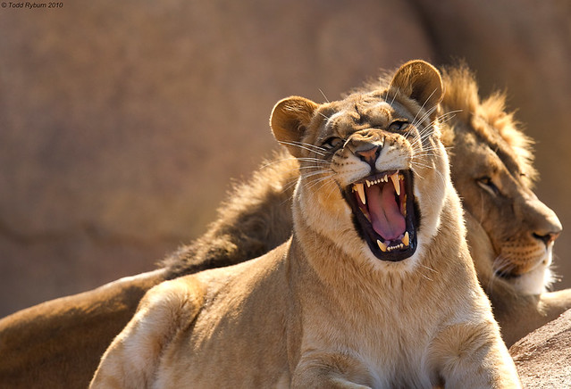 Pair of Lions - female baring teeth | I took this at the ...