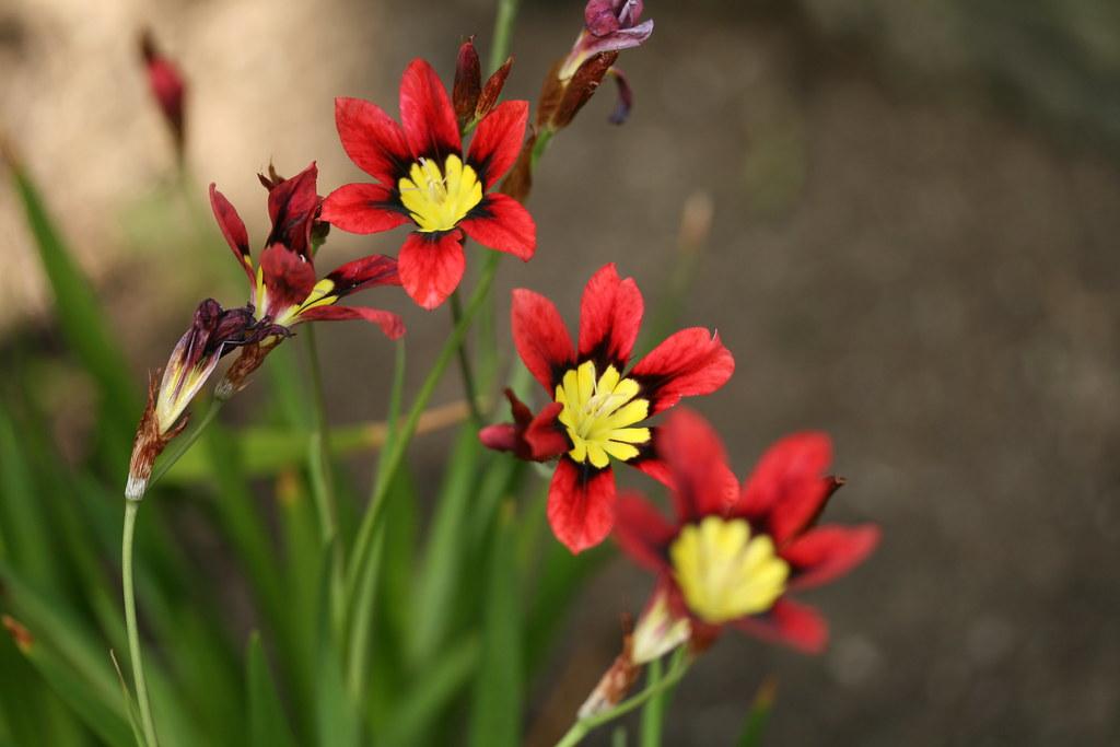 sparaxis tricolor 39 harlequin flower mix 39 1 dogtooth77 flickr. Black Bedroom Furniture Sets. Home Design Ideas