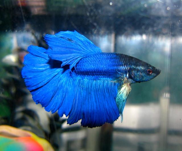 Blue Half Moon Betta Fish New Half Moon Betta Fish