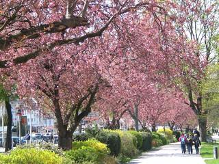 Sakura | Flourishing A...