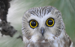saw-whet eyes (Explored) | by Steve Courson