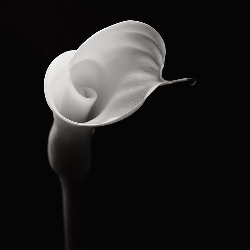 Flower Study II - The secret life of an Arum Lily | by [ J T ]